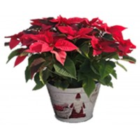 "10"" Basic Potted Poinsettia -  Red"