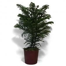 """4"""" Norfolk Pine"""