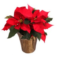 "6.5"" Basic Potted Poinsettia - Red"