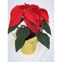 "4"" Basic Potted Poinsettia - Red"